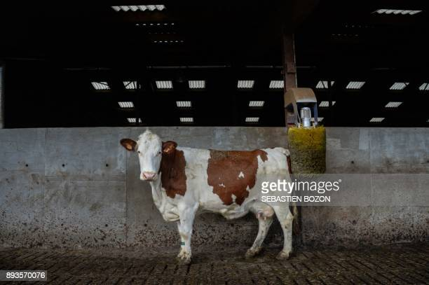This photo taken on December 13 2017 shows a dairy cow on a farm in Riespach eastern France / AFP PHOTO / Sebastien Bozon