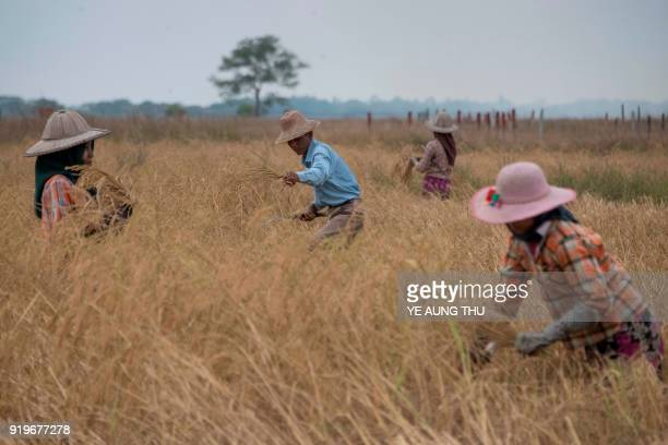 This photo taken on December 27 2017 shows farmers working in a rice field on the outskirts of Yangon New smartphone apps are providing farmers with...