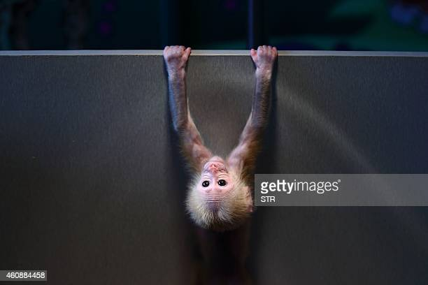 This photo taken on December 28 2014 shows a redfaced macaque baby monkey playing in its box at a zoo in Hangzhou in eastern China's Hangzhou...