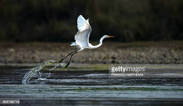 This photo taken on December 29 2015 shows a great egret on the Rapati River in Chitwan National Park some 200 km southwest of KathmanduThe Chitwan...