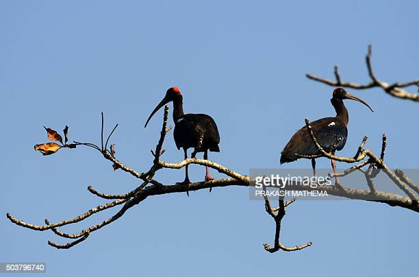 This photo taken on December 29 2015 shows a red naped ibis birds in Chitwan National Park some 200 km southwest of KathmanduThe Chitwan National...