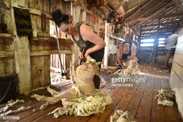 This photo taken on February 21 2018 shows 28yearold Australian sheep shearer Emma Billet shearing a sheep on a station outside the town of Trangie...