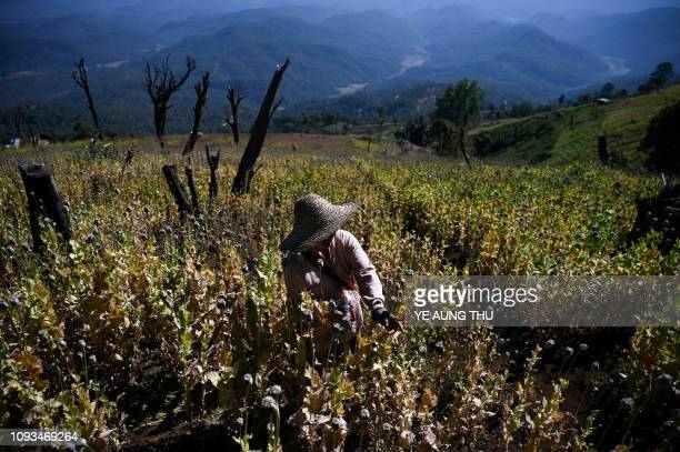 This photo taken on February 3, 2019 shows a farmer working at an illegal poppy field in Hopong, Myanmar Shan State. - Fields of purple opium poppy...