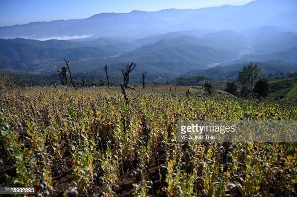 This photo taken on February 3, 2019 shows an illegal poppy field in Hopong, Shan State. - Myanmar is the second-biggest producer of opium in the...