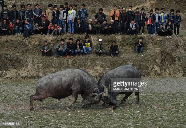 This photo taken on February 4, 2014 shows two buffalo clashing during a traditional Chinese New Year buffalo fighting competition at the Miao...