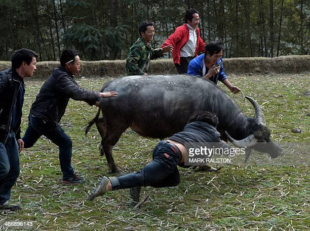 This photo taken on February 4, 2014 shows villagers trying to stop a buffalo fleeing during a traditional Chinese New Year buffalo fighting...