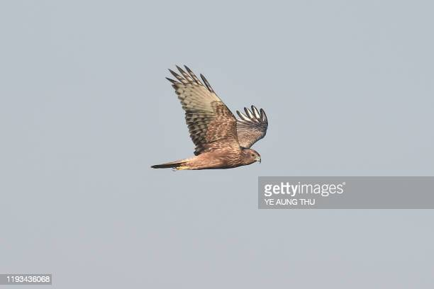This photo taken on January 11, 2020 shows an eastern marsh harrier flying at Moeyungyi wetlands in Bago Division, around 70 miles north of Yangon. -...