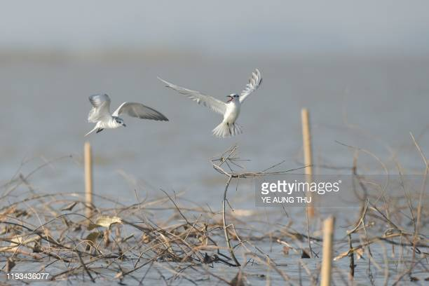 This photo taken on January 11, 2020 shows whiskered tern birds flying at Moeyungyi wetlands in Bago Division, around 70 miles north of Yangon. - The...