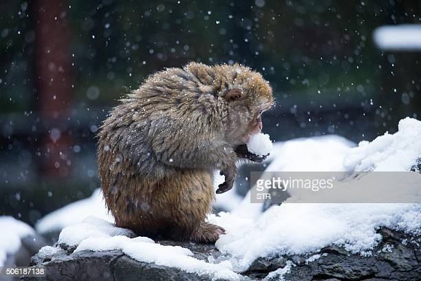 This photo taken on January 21 2016 shows a monkey holding a snowball at a zoo in Hangzhou east China's Zhejiang province Schools have been suspended...
