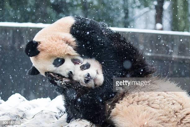 TOPSHOT This photo taken on January 21 2016 shows two pandas playing in snow inside their enclosure at a zoo in Hangzhou east China's Zhejiang...