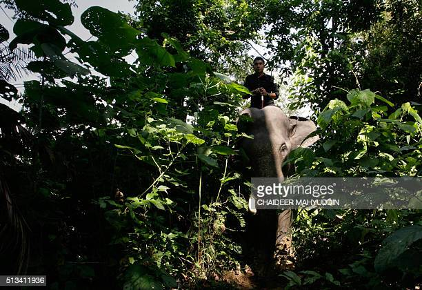 This photo taken on January 25 2015 shows an Indonesian mahout deployed as a forest ranger riding a trained Sumatran elephant at Trumon a subdistrict...