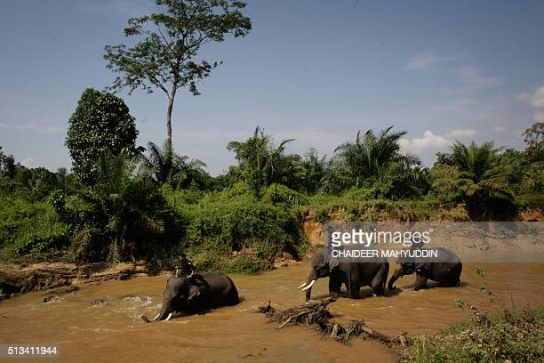 This photo taken on January 25 2015 shows Indonesian mahouts deployed as forest rangers riding their trained Sumatran elephants at Trumon a...