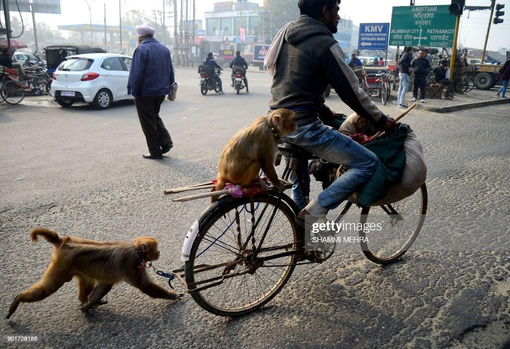 This photo taken on January 5 2018 shows an Indian monkey trainer riding a bicycle with one monkey sitting on the back and another running behind...