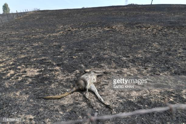 TOPSHOT This photo taken on January 8 2020 shows a dead kangaroo on a farm after bushfires in Batlow in Australia's New South Wales state Batlow has...