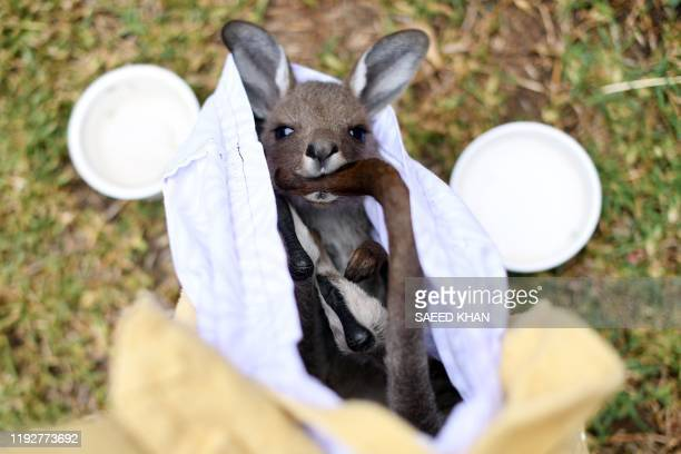 TOPSHOT This photo taken on January 9 2020 shows a rescued kangaroo being cared for by volunteers of wildlife rescue group WIRES who are working to...