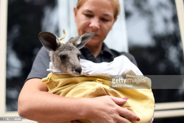 This photo taken on January 9 2020 shows volunteer Sarah Price of wildlife rescue group WIRES who are working to save and rehabilitate animals from...