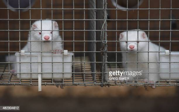 WITH 'OLYCHN2022CHINAFASHIONANIMAL' FOCUS This photo taken on July 21 2015 shows mink inside cages at a farm which breeds animals for fur in...