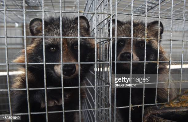 WITH 'OLYCHN2022CHINAFASHIONANIMAL' FOCUS This photo taken on July 21 2015 shows racoondogs in their cages at a farm which breeds animals for fur in...