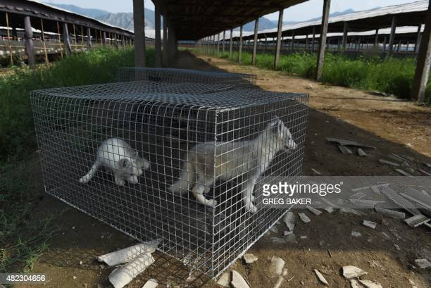 WITH 'OLYCHN2022CHINAFASHIONANIMAL' FOCUS This photo taken on July 21 2015 shows two fox cubs in a cage after they were moved to a shaded area to...