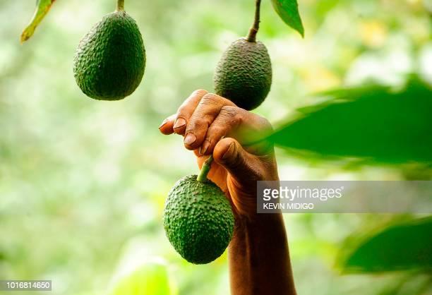 This photo taken on July 25 shows 73 yearold Kenyan avocado farmer Simon Kimani tending to his crop in Kandara central Kenya Before venturing into...