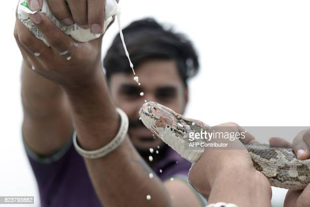 This photo taken on July 27 2017 shows an Indian Hindu man pouring milk for a python snake to drink in Jalandhar Officially the snake charmers'...