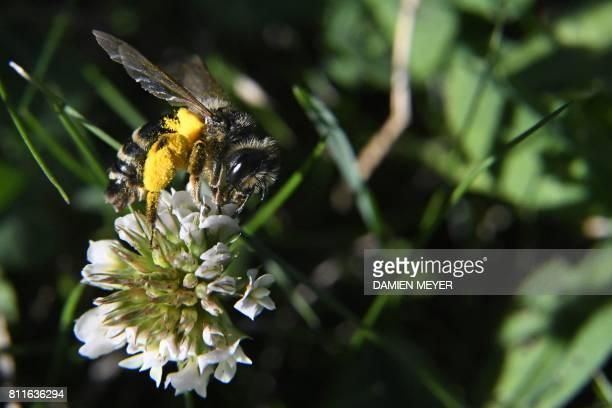 This photo taken on July 8 2017 shows a honeybee on a shamrock flower in in a garden in HedeBazouges western France / AFP PHOTO / DAMIEN MEYER
