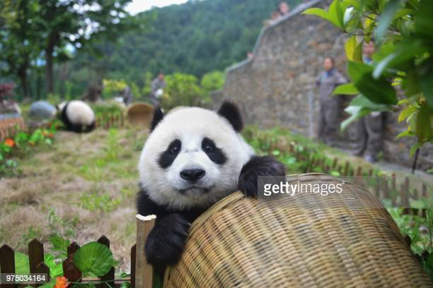This photo taken on June 10 2018 shows a panda playing with a basket during a simulated football match at the Shenshuping Base of the China...