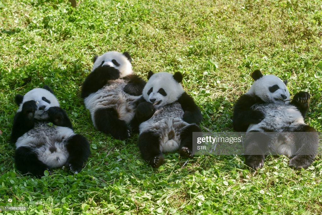 TOPSHOT-CHINA-CONSERVATION-ANIMAL-PANDA : News Photo