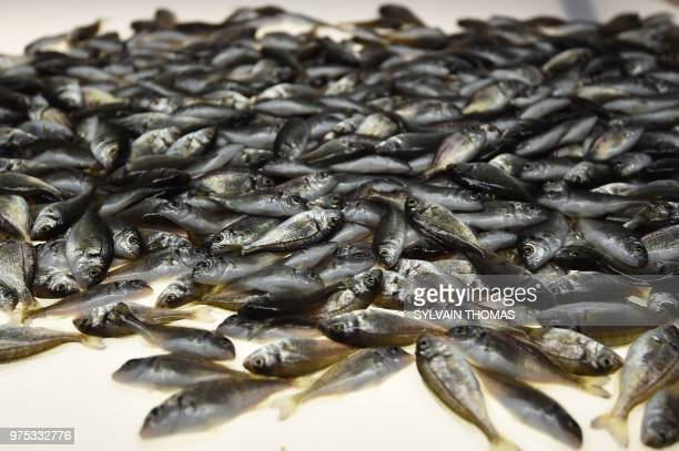This photo taken on June 14 2018 shows bream alluvions at the 'Les poisssons du soleil' entreprise based in Frontignan in Herault southern France