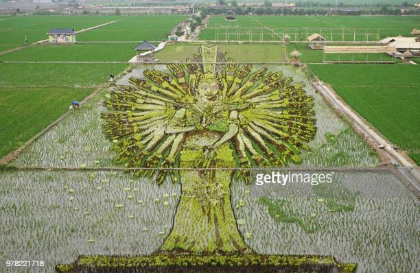 This photo taken on June 16 2018 shows an image of a 'thousandhand Bodhisattva' created using different varieties of rice in a paddy in Shenyang in...