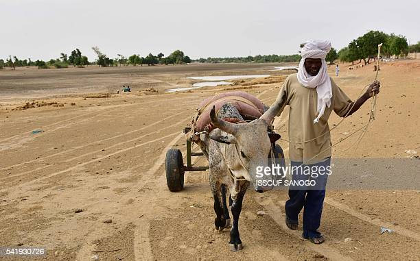 This photo taken on June 20 2016 shows young Nigeriens picking melons in a field by the River Yobe known locally as the Komadougou near Diffa After...