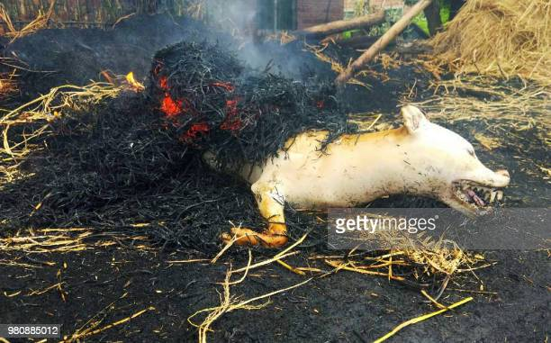 This photo taken on June 21, 2018 shows the carcass of a dog being roasted in straw in Yulin in China's southern Guangxi region during the Yulin dog...