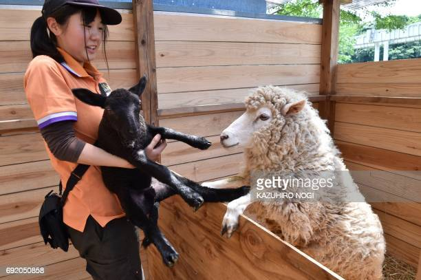 This photo taken on June 3, 2017 shows keeper Sara Asai taking care of a black baby lamb while his white-coated mother looks on, at the Chiba...