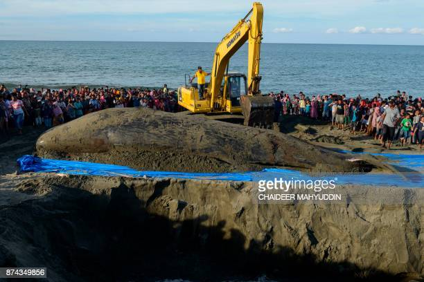 This photo taken on late November 14 2017 shows fisheries workers removing one of the dead sperm whales for an autopsy on a beach in Aceh Besar Four...