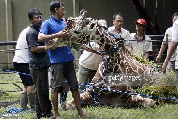 This photo taken on March 1, 2012 shows Indonesian zoo personnel attending to a 30-year-old ailing giraffe named Kliwon at the Surabaya zoo in...