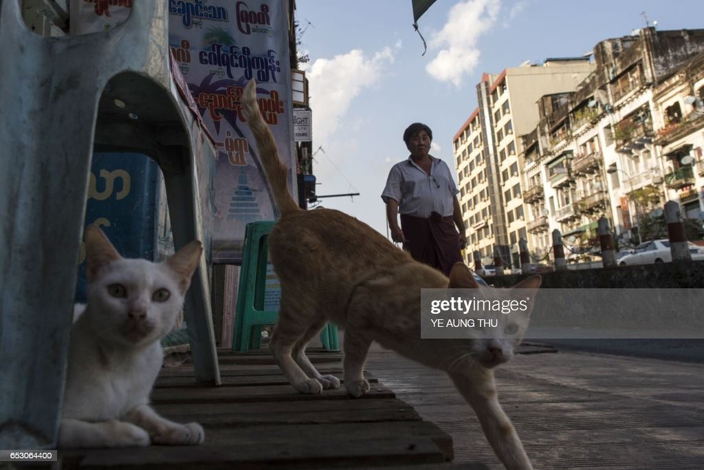 This photo taken on March 13, 2017 shows a man walking past cats in downtown Yangon. / AFP PHOTO / Ye Aung THU