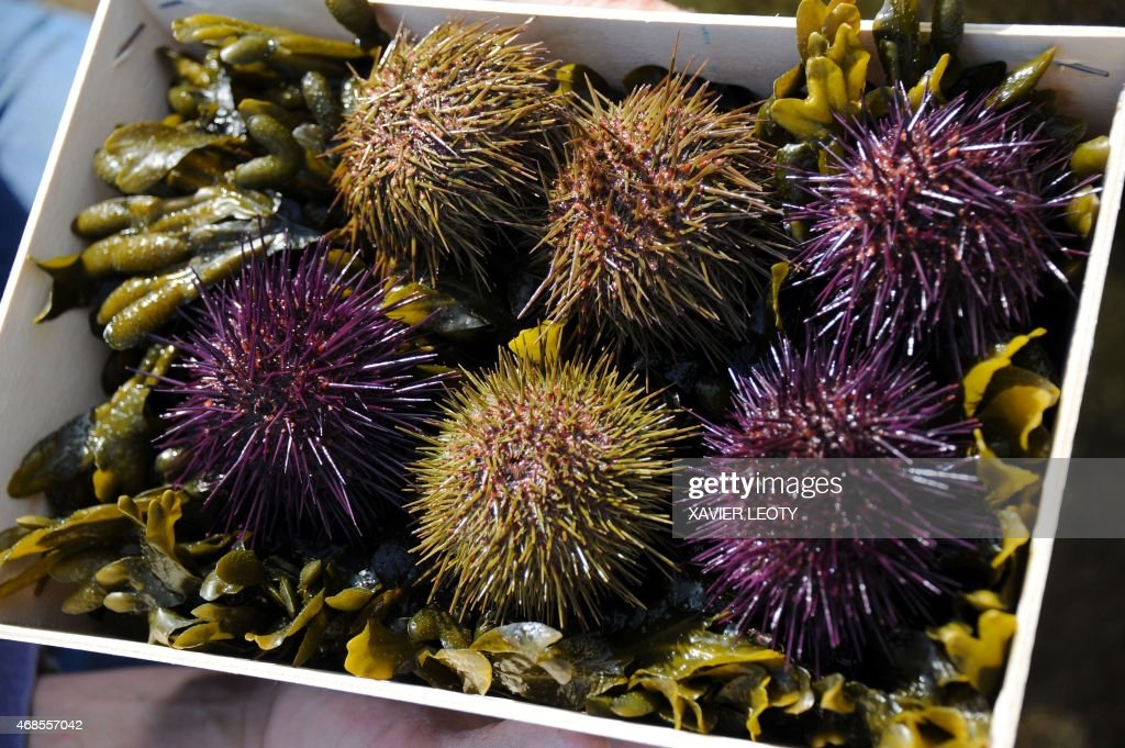FRANCE-ENVIRONEMENT-POLLUTION-FISHING-AQUACULTURE-SEA-URCHIN : News Photo