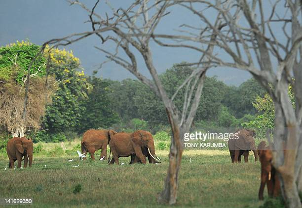 This photo taken on March 20, 2012 shows elephants foraging at the Tsavo-east National park during the second phase of a collaring excercise funded...