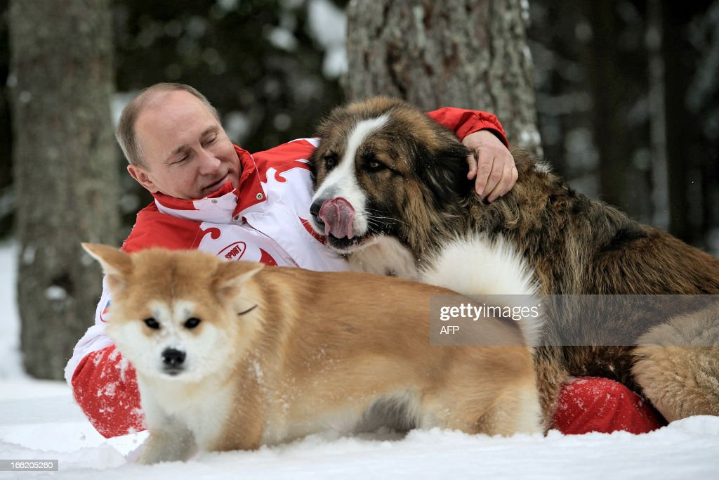 This photo taken on March 24, 2013 shows Russin President Vladimir Putin as he plays with his dogs 'Buffy' (up) and 'Yume' at his residence Novo-Ogariovo, outside Moscow. Bulgarian shepherd dog 'Buffy' was presented to Putin by his Bulgarian counterpart Boyko Borisov while Japanese Prime Minister Yoshihiko Noda offered Putin the puppy 'Yume' as a gift during the G20 in Mexico in June.