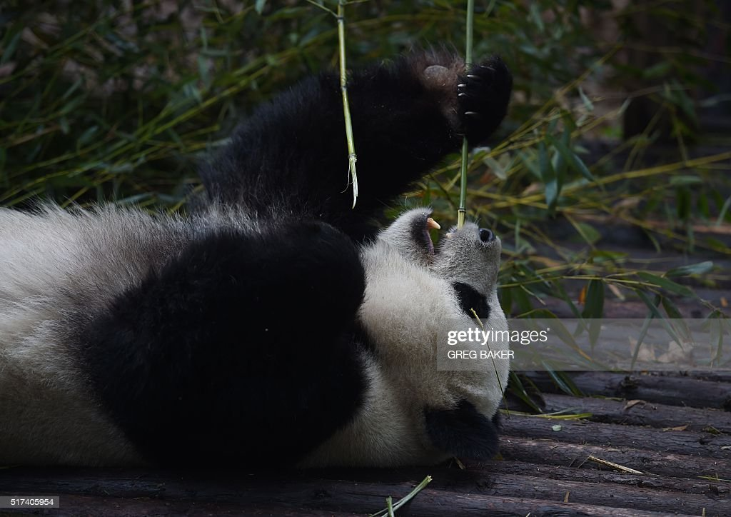 This photo taken on March 24, 2016 shows a panda eating bamboo at the Chengdu Research Base of Giant Panda Breeding in Chengdu, in Southwest China's Sichuan province. The base is a research and breeding center for pandas, and is also open to the public. / AFP / GREG