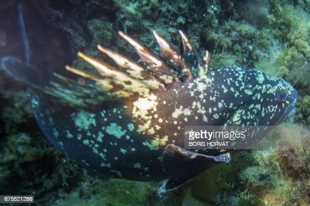 This photo taken on May 1 2017 shows a Merou or Grouper fish in the PortCros natural park An emblematic fish of the Mediterranean Sea the Merou...