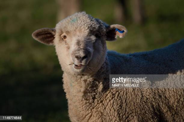 This photo taken on May 14 2019 shows a sheep grazing in a field in Ashburton Decades in the farming industry have left New Zealand sheep breeder...