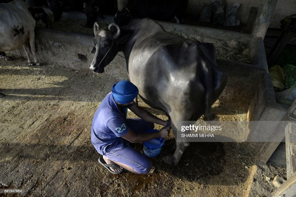 This photo taken on May 27 shows an Indian farmer milking a cow at a farm on the outskirts of Jalandhar before it is picked up by milkmen to supply...