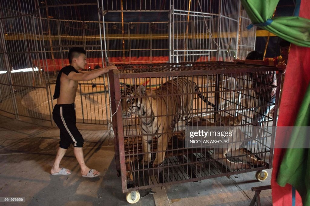 This photo taken on May 30, 2018 shows circus members pushing the small cage of a Siberian tiger (C) and an African lioness (R) at the camp of the Chinese Prosperous Nation Circus Troupe in the National Forest Park of Guanyin Mountain in Dongguan. - The use of wild animals in circus shows has come under growing criticism around the world, with some countries banning the practice, but for the Chinese troupe, the beasts are considered a major attraction. (Photo by NICOLAS ASFOURI / AFP) / TO GO WITH AFP STORY China-animal-circus by Joanna Chiu and Xin Liu