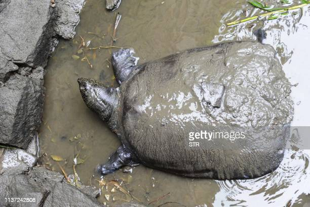 TOPSHOT This photo taken on May 6 2015 shows a female Yangtze giant softshell turtle at Suzhou Zoo in Suzhou in China's eastern Jiangsu province The...