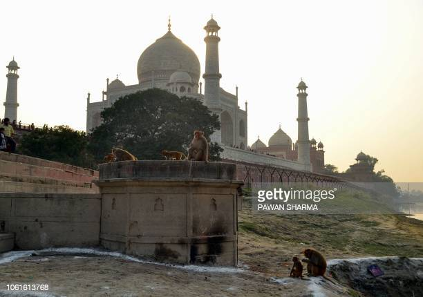 This photo taken on November 13, 2018 shows macaques monkeys gathering near the Taj Mahal monument in Agra in India's Uttar Pradesh state. - Indian...
