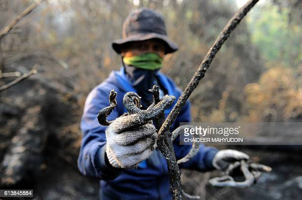 This photo taken on October 10 shows a charred snake carcass being held up by a ranger in Seulawah Aceh Besar district in Aceh province after the...