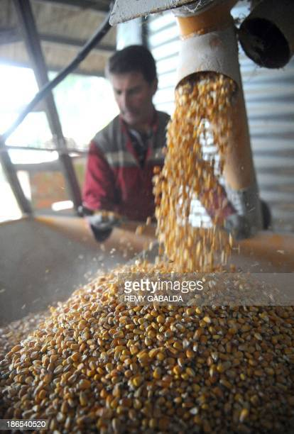 BOUTREUX This photo taken on October 22 shows French farmer JeanLouis Dudoux inspecting quality organic corn grains to be used as feed for organic...