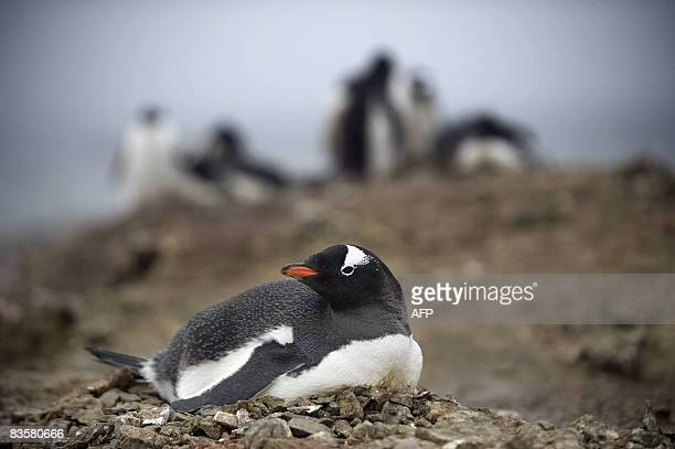 This photo taken on October 28 2008 shows Gentoo penguins on the shore of King George Island Antarctica AFP PHOTO / MARTIN BUREAU