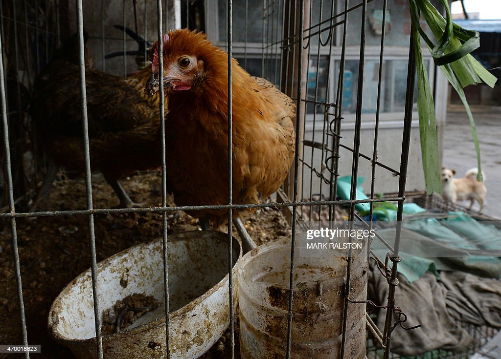 This photo taken on on February 17, 2014 shows chickens at a poultry market that has been closed due to the risk of spreading the H7N9 bird flu virus in Hangzhou, Zhejiang Province. So far this year China has confirmed 115 human H7N9 cases, including 25 deaths. AFP PHOTO/Mark RALSTON
